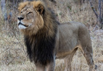Cecil the Lion's Brutal Death - Positive Lessons for Outraged Old Souls